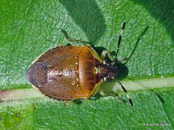 Phil Bendle Collection:Bug (Shield bug) Pittosporum shield bug (Monteithiella humeralis)
