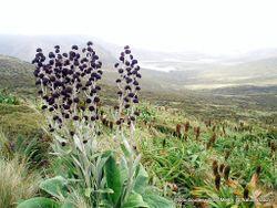 Phil Bendle Collection:Pleurophyllum criniferum (Giant button daisy)
