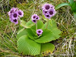 Phil Bendle Collection:Pleurophyllum speciosum (Campbell Island daisy)