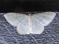 Phil Bendle Collection:Poecilasthena pulchraria