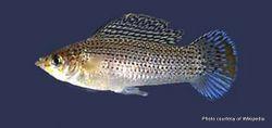 Phil Bendle Collection:Sailfin molly (Poecilia latipinna)
