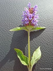 Phil Bendle Collection:Prunella vulgaris (Selfheal)