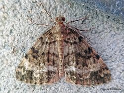 Phil Bendle Collection:Pseudocoremia rudisata (Forest looper moth)