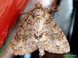 Phil Bendle Collection:Pseudocoremia suavis (Forest looper moth)