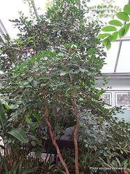 Phil Bendle Collection:Psidium cattleyanum (Strawberry guava)