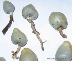 Phil Bendle Collection:Psilocybe weraroa (Globose pouch)