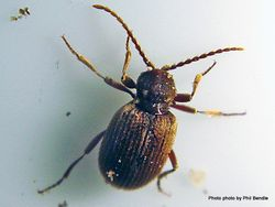 Phil Bendle Collection:Beetle (Australian spider beetle) Ptinus tectus