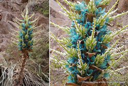Phil Bendle Collection:Puya berteroniana (Blue Puya)
