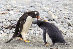 Phil Bendle Collection:Penguin (Gentoo) Pygoscelis papua