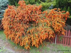 Phil Bendle Collection:Pyracantha (Firethorn)
