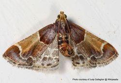 Phil Bendle Collection:Pyralis farinalis (Meal moth)