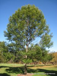 Phil Bendle Collection:Quercus acutissima (Sawtooth oak)