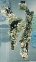 Phil Bendle Collection:Ramalina geniculata