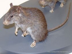 Phil Bendle Collection:Rat (Kiore) Rattus exulans