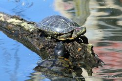 Phil Bendle Collection:Turtle (Red-eared slider) Trachemys scripta elegans