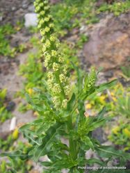 Phil Bendle Collection:Reseda luteola (Wild mignonette)