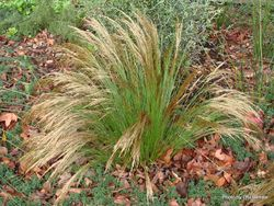 Phil Bendle Collection:Restio festuciformis (Green Grass Reed) Exotic