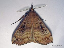 Phil Bendle Collection:Rhapsa scotosialis (Slender owlet moth)