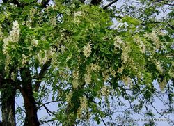 Phil Bendle Collection:Robinia pseudoacacia (False Acacia)
