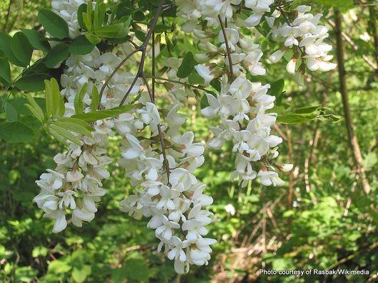 1-Robinia (Robinia pseudoacacia).jpg
