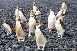 Phil Bendle Collection:Penguin (Royal) Eudyptes schlegeli