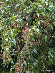 Phil Bendle Collection:Rubus cissoides (Bush lawyer)