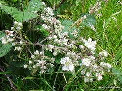 Phil Bendle Collection:Rubus fruticosus (Blackberry)