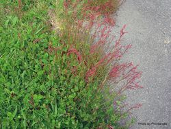 Phil Bendle Collection:Rumex acetosella (Sheep s sorrel)