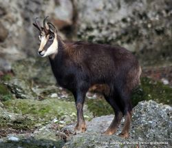 Phil Bendle Collection:Chamois (Rupicapra rupicapra)