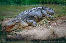 Phil Bendle Collection:Crocodile (Saltwater) Crocodylus porosus