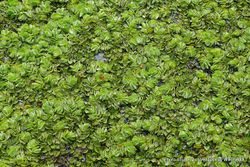 Phil Bendle Collection:Salvinia molesta (Water fern)