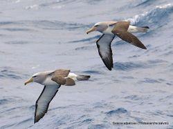Phil Bendle Collection:Albatross (Salvins mollymawk) Thalassarche salvini