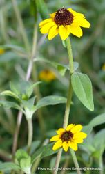 Phil Bendle Collection:Sanvitalia procumbens (Creeping Zinnia)