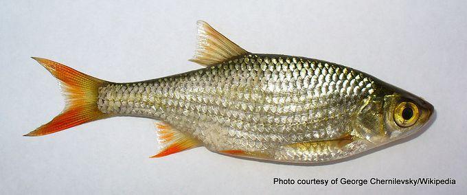 1-Scardinius erythropthalmus 2009 G1.jpg