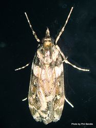 Phil Bendle Collection:Scoparia diphtheralis (Shining scopari moth)