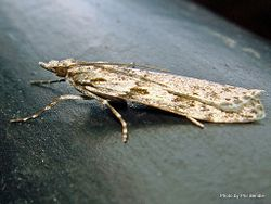 Phil Bendle Collection:Scoparia halopis (Grass moth)