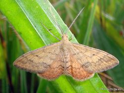 Phil Bendle Collection:Scopula rubraria (Plantain moth)