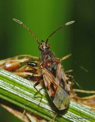 Phil Bendle Collection:Bug (Seed bug) Nysius species