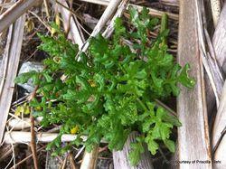 Phil Bendle Collection:Senecio radiolatus subsp. radiolatus (Chatham Island groundsel)