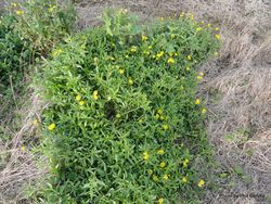 Phil Bendle Collection:Senecio skirrhodon (Gravel groundsel)