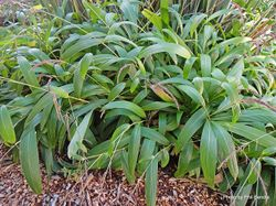 Phil Bendle Collection:Setaria palmifolia (Palmgrass)