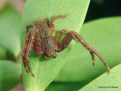 Phil Bendle Collection:Crab Spiders Information)
