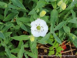 Phil Bendle Collection:Silene unifora (Sea campion)