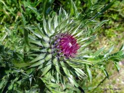 Phil Bendle Collection:Silybum marianum (Variegated Thistle)