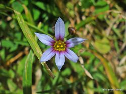 Phil Bendle Collection:Sisyrinchium iridifolium (Purple-eyed grass)