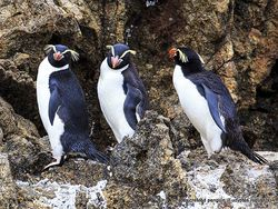 Phil Bendle Collection:Penguin (Snares crested) Eudyptes robustus