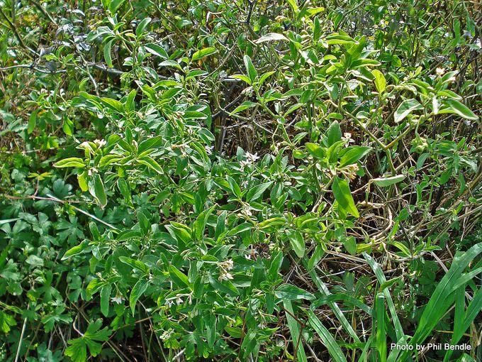1-Solanum chenopodioides Velvety Nightshade .JPG