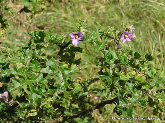 1-Solanum linnaeanum.JPG