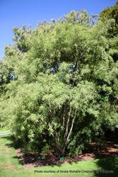 Phil Bendle Collection:Sophora fulvida (West coast kowhai)