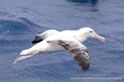 Phil Bendle Collection:Albatross (Southern royal albatross) Diomedea epomophora